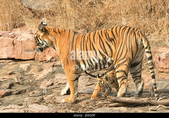 Bengal Tiger Cub Family Stock Photos & Bengal Tiger Cub ...