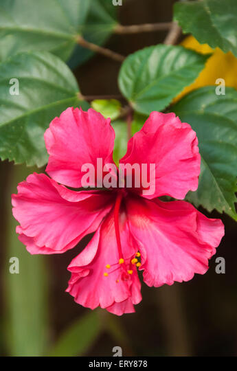 Wild Hibiscus Stock Photos & Wild Hibiscus Stock Images - Alamy