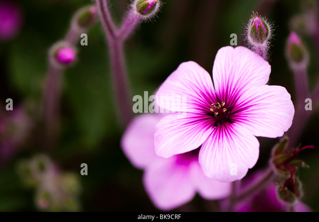 Plant of the week: Madeira cranesbill | Life and style | The Guardian
