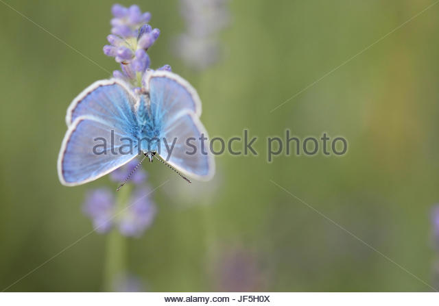 Portrait of a common blue butterfly, Polyommatus icarus, on a lavender flower, Lavandula angustifolia. - Stock Image