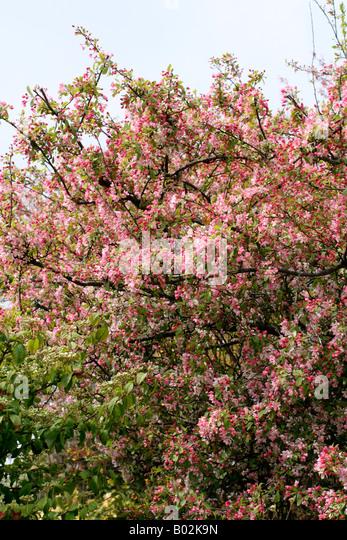floribunda crabapple - photo #15