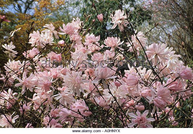 magnolia stellata rosea stock photos magnolia stellata rosea stock images alamy. Black Bedroom Furniture Sets. Home Design Ideas
