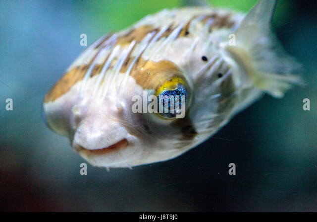 Longspined stock photos longspined stock images alamy for Fish eye skin