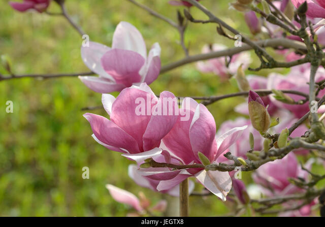 magnolia soulangeana rustica rubra stock photos magnolia soulangeana rustica rubra stock. Black Bedroom Furniture Sets. Home Design Ideas