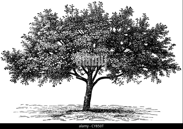 Old Apple Tree Black and White Stock Photos & Images - Alamy