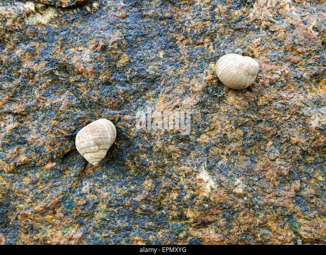 tide and periwinkle snail Wayward periwinkle snails as you view the mid tide zone and get close to sea level, you are likely to encounter the 'star' of the tidepool tales - literally.