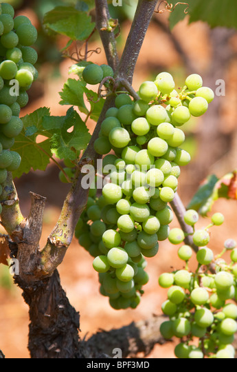 turkish local grapes varieties Grapes are grown throughout turkey, and there are over 1,200 different grape   which are a dried seedless grape variety indigenous to the izmir region of  local  towns in my 2014/15 and the yield expectations of the raisin.
