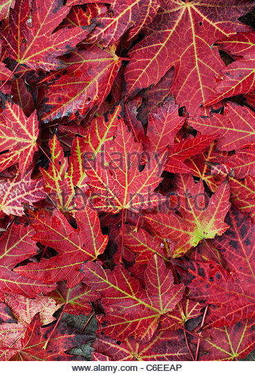 Japanese maple leaf pattern the image Japanese maple leaf