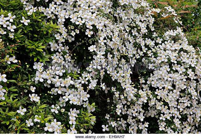 clematis montana white flower stock photos clematis. Black Bedroom Furniture Sets. Home Design Ideas