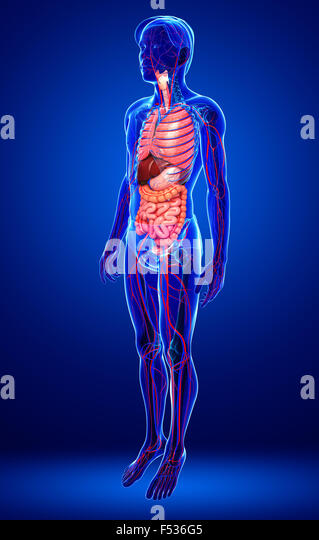 observation of digestive and circulatory systems The digestive system work with the circulatory system by immediatly in the small intestine absorb the nutrients from our food and to put them to use but this is after the nutrients are broken down .