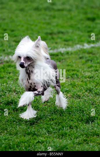 Trade Stands Crufts : Chinese crested dog show stock photos
