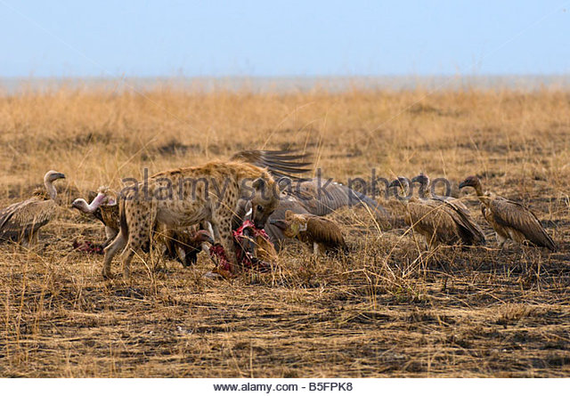 a spotted hyena eating the carcass of a juvenile impala masai mara national reserve