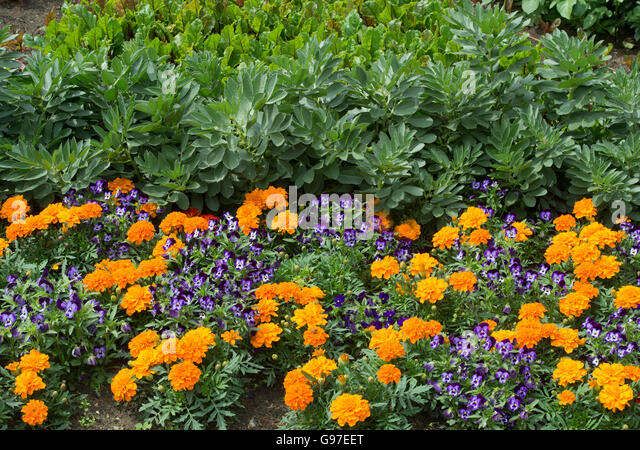 Pansies And Violets Stock Photos Pansies And Violets Stock Images Alamy