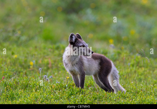 Tundra Arctic Fox In Summer Lapland Sweden ...