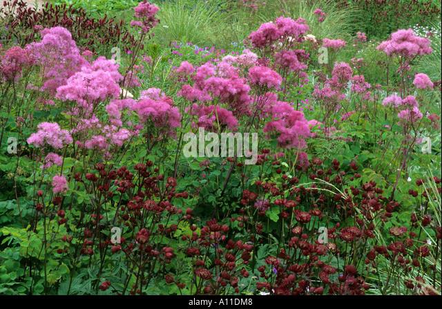 Thalictrum aquilegifolium stock photos thalictrum for Thalictrum rochebrunianum rhs