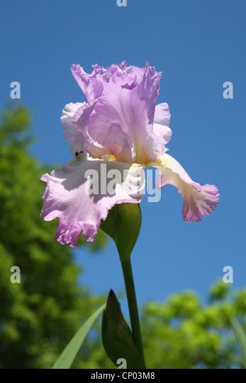 flag iris germanica stock photos flag iris germanica. Black Bedroom Furniture Sets. Home Design Ideas