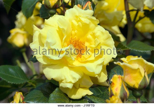 rose lichtkönigin lucia