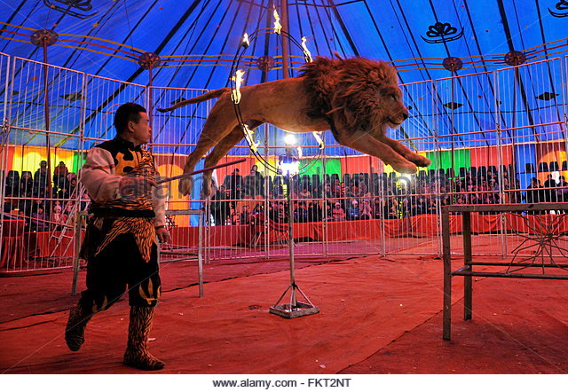 http://l7.alamy.com/zooms/031a37e6a8da43ff9221a0e6d7b0415a/local-residents-are-entertained-by-a-lion-jumping-through-a-flaming-fkt2nt.jpg