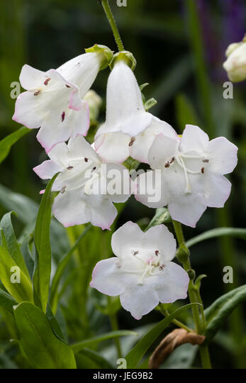 Tubular white flowers stock photos tubular white flowers stock tubular white flowers of the evergreen sub shrub penstemon snowstorm stock image mightylinksfo