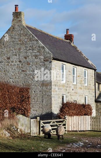 Two Sheep Graze Outside A Stone Built Farmhouse Near Rothbury North East England UK