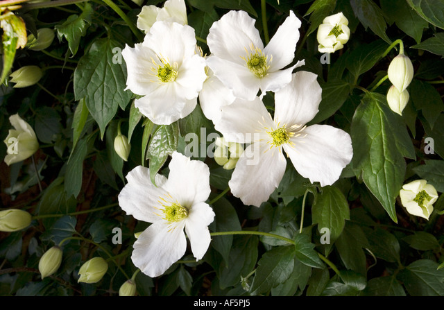 white flowers clematis stock photos white flowers. Black Bedroom Furniture Sets. Home Design Ideas