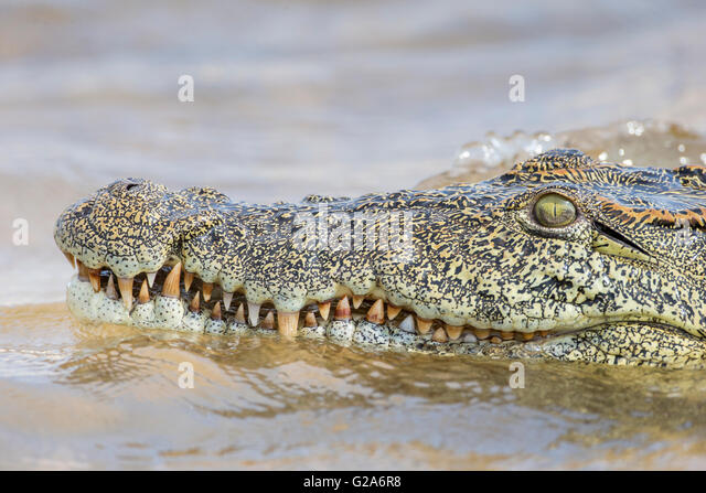 Zambezi Crocodile Stock Photos & Zambezi Crocodile Stock ...