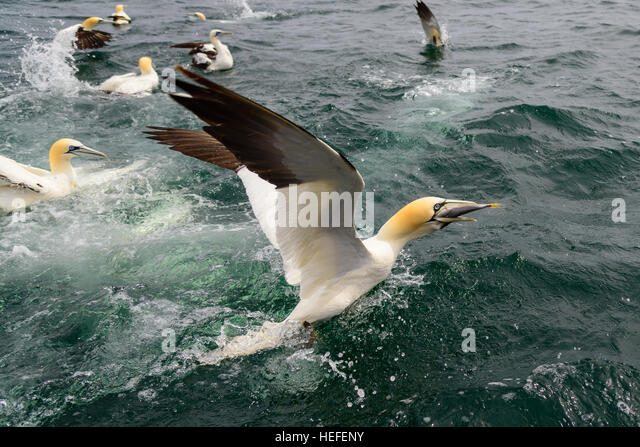 Northern gannet dive stock photos northern gannet dive for Other fish in the sea