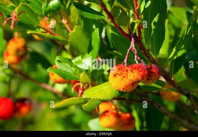 arbutus leaves stock photos arbutus leaves stock images. Black Bedroom Furniture Sets. Home Design Ideas