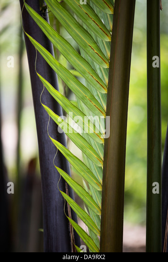 nipa palm tree Nypa fruticans, known as the attap palm (singapore), nipa palm  thus, it is an  unusual tree, and the leaves can extend up to 9 m (30 ft) in.