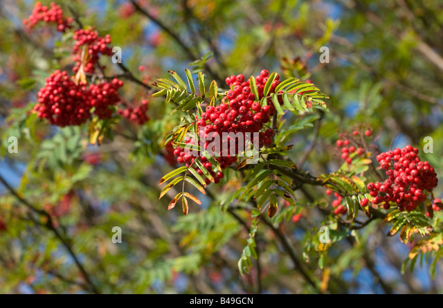 Clusters of berries stock photos amp clusters of berries stock images