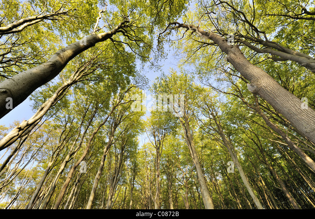 fagus women Beech definition is - any of a genus (fagus of the family fagaceae, the beech family) of hardwood trees with smooth gray bark and small edible nuts also : its wood.