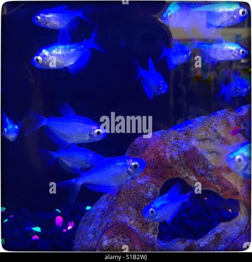 Tetra Fish Stock Photos & Tetra Fish Stock Images - Alamy