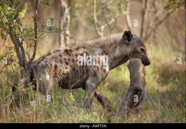 spotted hyena crocuta crocuta carrying an impala hide stock image
