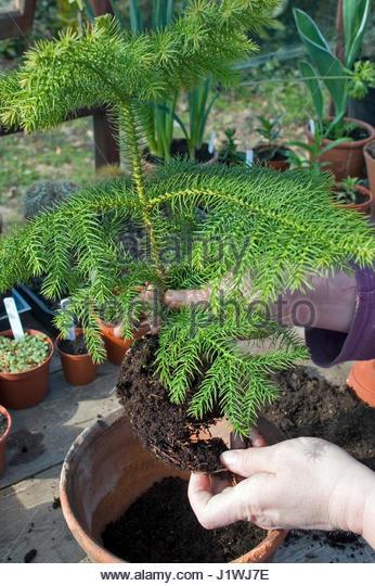Repotting Norfolk Island Pine