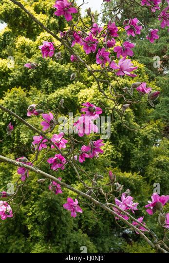 pink magnolia flower deep - photo #34