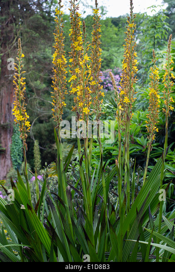 Tall spikes stock photos tall spikes stock images alamy for Plant with tall spikes of yellow flowers