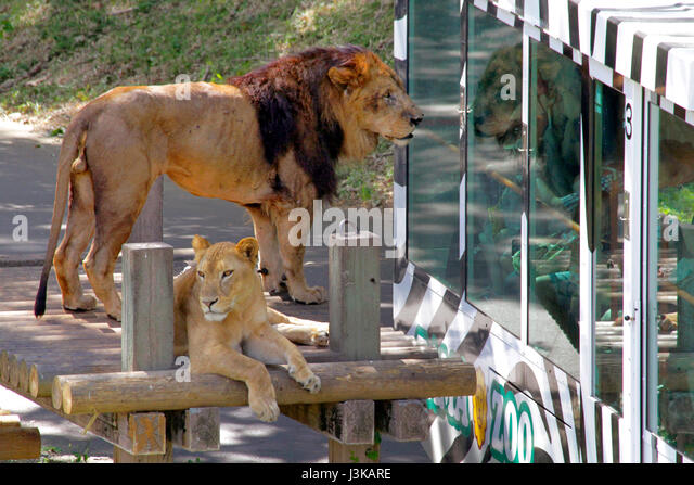 Lion Bus Stock Photos & Lion Bus Stock Images - Alamy
