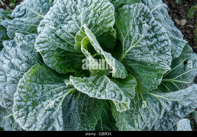Pleasant Vegetables Frozen In Ice Stock Photos  Vegetables Frozen In Ice  With Magnificent Frozen Vegetables In Kitchen Garden On A Winter Morning South Devon Uk   Stock With Appealing Christchurch Gardens Also Hurrans Garden Centre In Addition Garden Of Quotes And Feature Plants For Front Garden As Well As Grey Gardens House Address Additionally Garden Centre Kidderminster From Alamycom With   Magnificent Vegetables Frozen In Ice Stock Photos  Vegetables Frozen In Ice  With Appealing Frozen Vegetables In Kitchen Garden On A Winter Morning South Devon Uk   Stock And Pleasant Christchurch Gardens Also Hurrans Garden Centre In Addition Garden Of Quotes From Alamycom