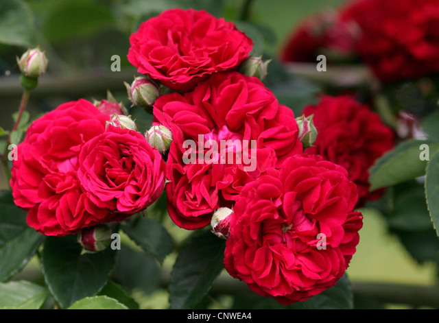 red rambler roses flowers stock photos red rambler roses flowers stock images alamy. Black Bedroom Furniture Sets. Home Design Ideas