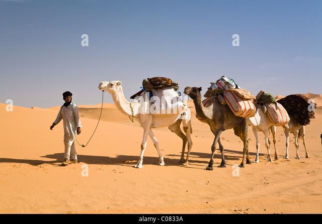 Simple Modern Day Bedouin Camel Caravan