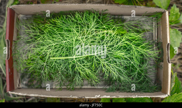 Dill in the box top view - Stock Image
