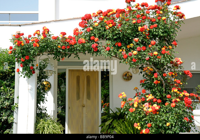 Amazing Rose Climbing Up In A House. Arbeca, Lleida, Catalonia, Spain   Stock