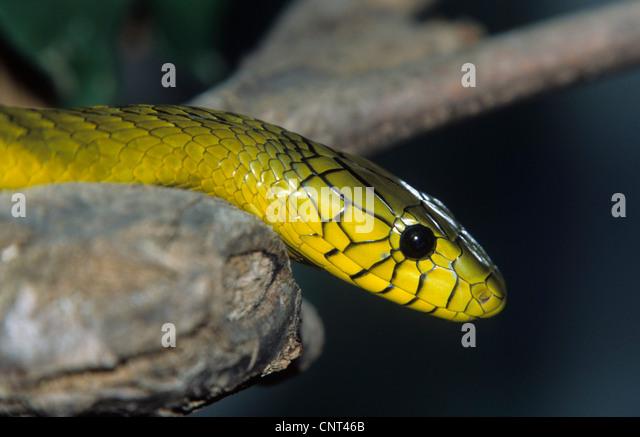 yellow mamba snake - photo #5