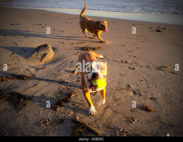 dogs-on-the-beach-playing-fetch-with-a-t