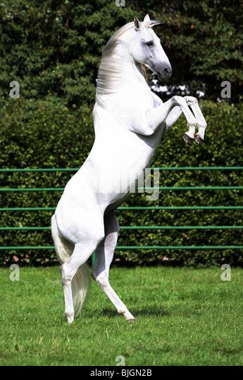 Tennessee Walking Horses  CLOUD 9 WALKERS Tennessee