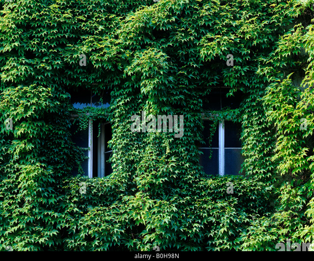 House Front Covered With Boston Ivy Or Japanese Creeper (Parthenocissus  Tricuspidata), Two Nearly