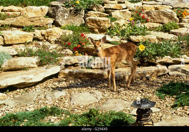 Garden deer stock photos garden deer stock images alamy for Landscaping rocks corpus christi