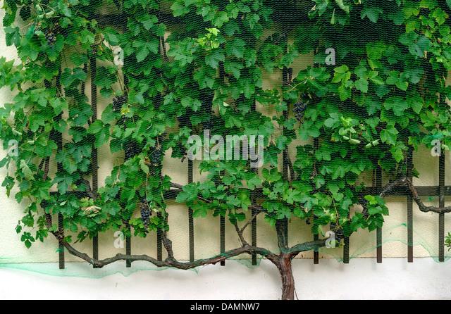 fruit grape vine vitis vinifera stock photos fruit grape. Black Bedroom Furniture Sets. Home Design Ideas