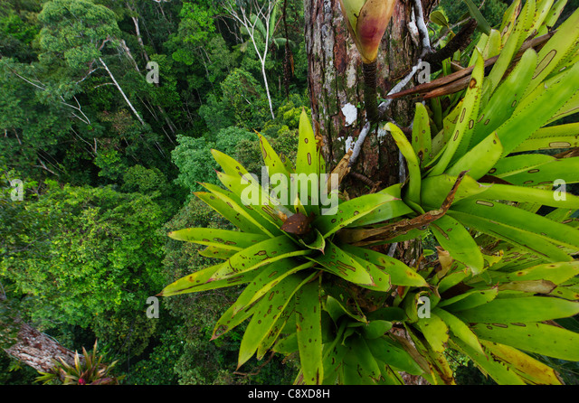 Bromeliad sp. growing on emergent tree in rainforest canopy nr Iquitos Amazon Peru - Stock & Amazon Rainforest Canopy Stock Photos u0026 Amazon Rainforest Canopy ...