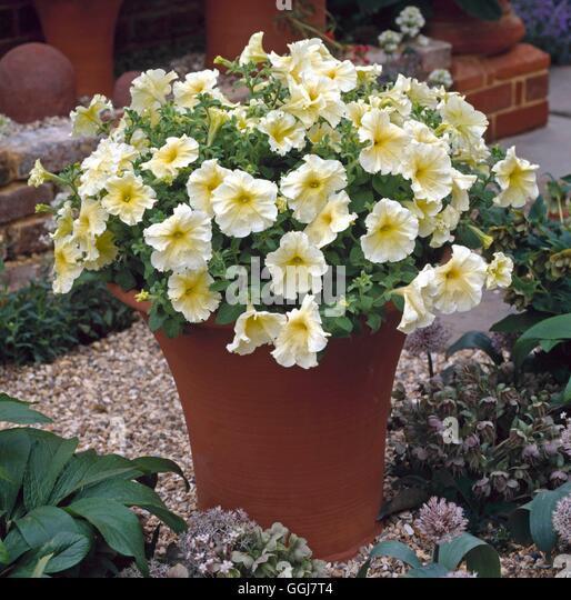 how to grow petunias in a pot